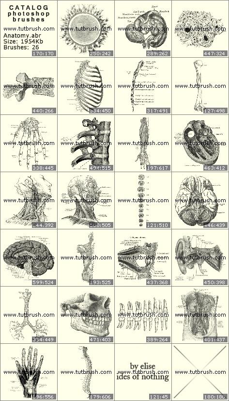 Кисти для фотошопа Анатомия человека