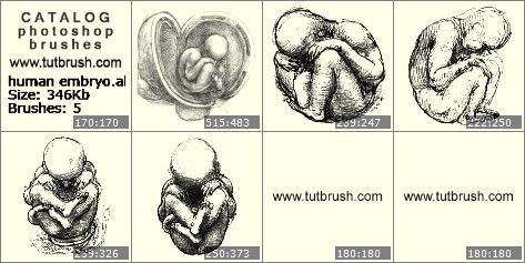 Photoshop brushes human embryo