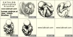 human embryo - photoshop brush preview