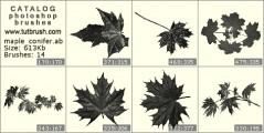 Листья клена и сосны